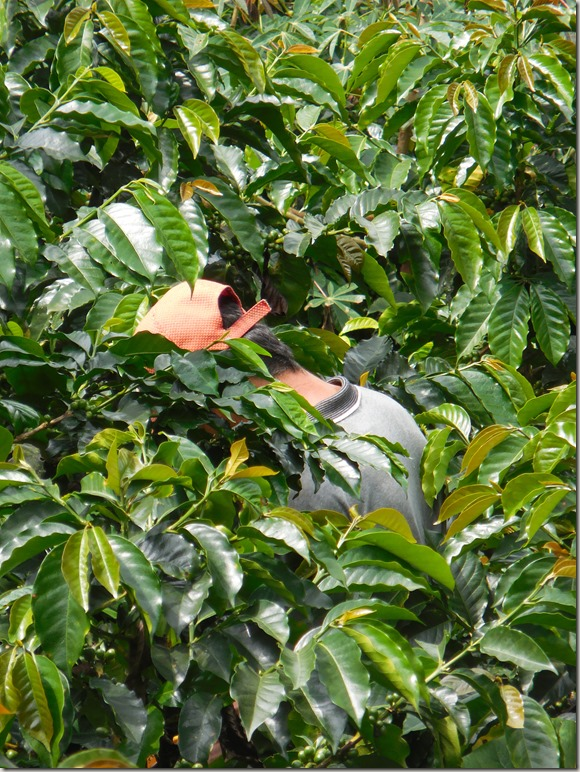 Don Elias coffee plantation