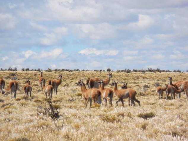 Guanacos in Patagonia