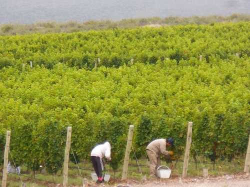 Harvest time at O Fournier